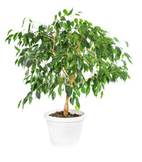 Ficus Tree Plant Care Indoor House Plants Amp Flowers